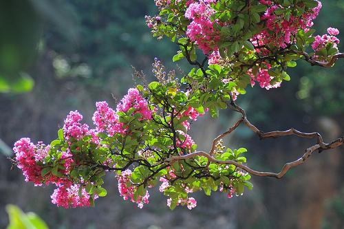 Hoa tường vy có kỹ thuật trồng cây khá dễ