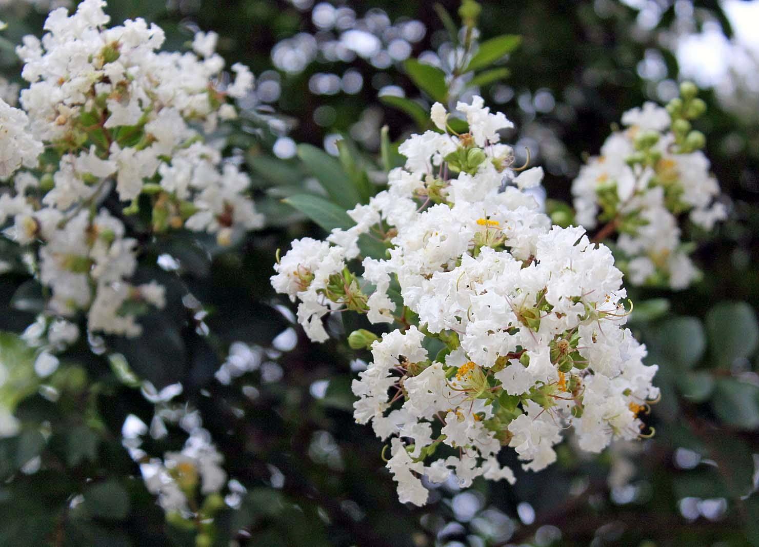 Loài hoa này sở hữu vẻ đẹp mong manh, thuần khiết